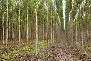 Eucalyptus plants in Chitrakoot