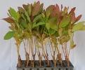 Eucalyptus Clone 288