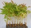Eucalyptus Clone 290