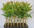 Eucalyptus Clone 413