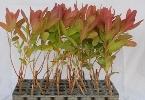 Eucalyptus Clone 7
