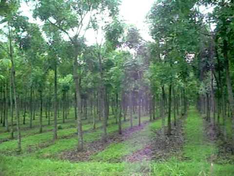 Mahogany Plant Sapling - India Plantation Provides all ...