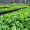 Teak plants dealers in Amroha