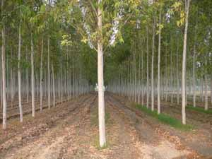 Eucalyptus plants in Rewa