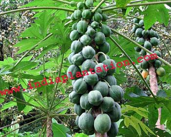 how to make dried papaya leaves as a mulch for tomato Push each clove 1-2 into the ground, firm the soil around it, and water the bed if it is dry mulch: either tie the garlic in bunches, braid the leaves.