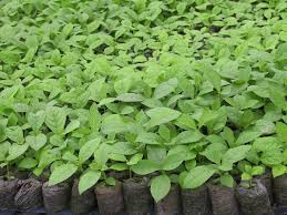Teak plants dealers in Bihar